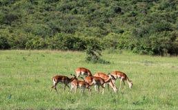 Het wild in Maasai Mara, Kenia Royalty-vrije Stock Afbeeldingen