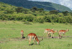 Het wild in Maasai Mara, Kenia Stock Foto