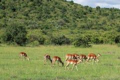 Het wild in Maasai Mara, Kenia Stock Afbeeldingen