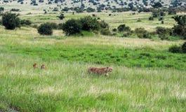 Het wild in Maasai Mara National Park, Kenia stock afbeeldingen