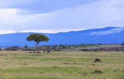 Het wild in Maasai Mara Park in Kenia royalty-vrije stock foto