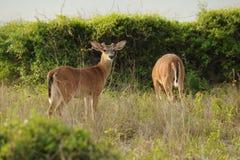 Het wild op Kiawah-Eiland, Zuid-Carolina Royalty-vrije Stock Foto's