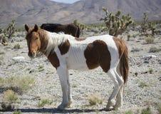 Het wild paard van Nevada in de woestijn Stock Afbeeldingen