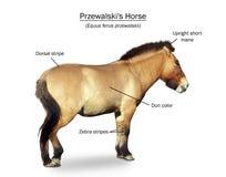 Het wild paardpresentatie van Przewalski Stock Fotografie