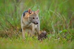 Het wild, Pantanal, Brazilië Groene vegetatie, leuke wilde vos Hond met karkas Krab-etende vos, de thous, bosvos van Cerdocyon, h royalty-vrije stock fotografie