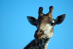Het wild van Afrika Royalty-vrije Stock Afbeeldingen