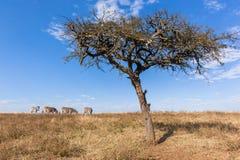 Het Wild van de Zebrasboom Stock Fotografie