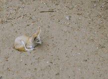 Het wild van Fennecvossen Stock Foto