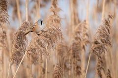 Het wild van Gebaarde biarmicus van Parrotbill Panurus op het gras wordt geschoten dat stock fotografie