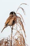 Het wild van Gemeenschappelijke Reed Bunting Emberiza-schoeniclus op het gras wordt geschoten dat stock afbeeldingen
