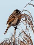 Het wild van Gemeenschappelijke Reed Bunting Emberiza-schoeniclus op het gras wordt geschoten dat stock fotografie