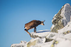 Het wild van gemzen in bergen Hoge tatras stock foto