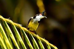 Het WILD VAN MAURITIUS - de vogel van Bulbul Orpheus Royalty-vrije Stock Foto
