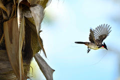 Het WILD VAN MAURITIUS - de vogel van Bulbul Orpheus Stock Afbeeldingen
