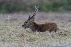 Het wild van Sambarherten Stock Fotografie