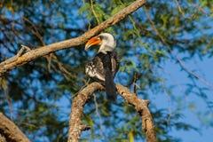 Het wild, vogel hornbill op de boom wordt rood-gefactureerd die royalty-vrije stock foto's