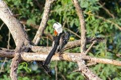 Het wild, vogel hornbill op de boom wordt rood-gefactureerd die royalty-vrije stock afbeeldingen