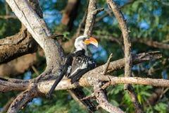 Het wild, vogel hornbill op de boom wordt rood-gefactureerd die stock foto