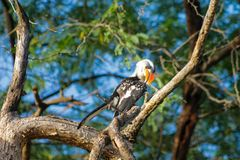 Het wild, vogel hornbill op de boom wordt rood-gefactureerd die stock foto's