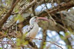 Het wild, vogel hornbill op de boom wordt rood-gefactureerd die royalty-vrije stock fotografie