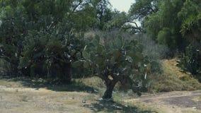 Het wilde cactus groeien in de woestijn Mexico, Mexico-City 4K stock videobeelden