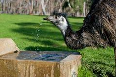 Het wilde drinkwater van de Emoe, Australië Stock Afbeelding