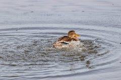 Het wilde eend bespatten in het meer op een zonnige de herfstdag Royalty-vrije Stock Afbeeldingen