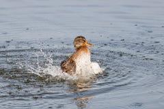 Het wilde eend bespatten in het meer op een zonnige de herfstdag Stock Fotografie