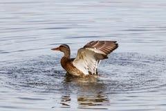 Het wilde eend bespatten in het meer op een zonnige de herfstdag Royalty-vrije Stock Foto