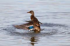 Het wilde eend bespatten in het meer op een zonnige de herfstdag Stock Afbeelding