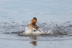 Het wilde eend bespatten in het meer op een zonnige de herfstdag Stock Foto