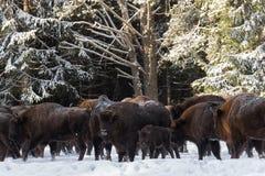 Het wilde Europese Wisent, het Kalf en de Moeder van Aurochs Het Kalf en de Moeder van Bruin Bison Bison Bonasus Are Standing On  Stock Afbeeldingen