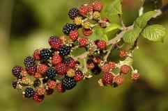 Het wilde fruit van de Braambes Stock Afbeeldingen