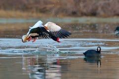 Het wilde gans vliegen (tadornatadorna) Royalty-vrije Stock Foto