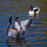 Het wilde gans vliegen (tadornatadorna) Royalty-vrije Stock Foto's