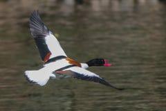 Het wilde gans vliegen (tadornatadorna) Stock Fotografie