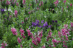 Het wilde gebied van de de zomerbloem Royalty-vrije Stock Afbeelding