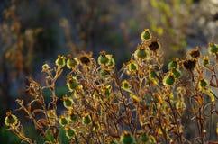 Het wilde goud van de de hoofdengloed van het bloemzaad in de avond zon royalty-vrije stock afbeelding