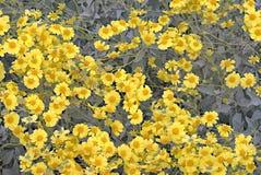 Het wilde Goudvelden Bloeien stock afbeelding