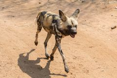 Het wilde hond lopen stock afbeeldingen