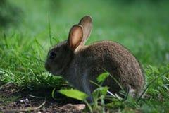 Het wilde konijn van de baby Stock Afbeelding
