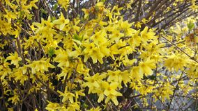 Het wilde leven door de weg, gele bloemenstruiken Royalty-vrije Stock Afbeeldingen