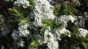 Het wilde leven door de weg, witte bloemenstruiken Royalty-vrije Stock Foto's