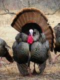 Het wilde mannelijke tom Turkije strutting ongeveer tijdens de lentebronst Stock Afbeeldingen
