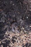 Het wilde muis reinigen voor voedsel Stock Afbeelding
