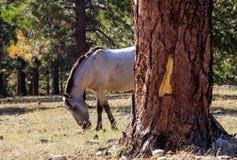 Het wilde Mustang weiden in het bergbos royalty-vrije stock foto's