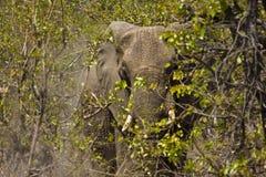 Het wilde olifant verbergen in de struik, het nationale park van Kruger, ZUID-AFRIKA Stock Foto's