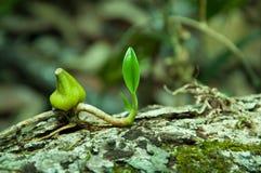 Het wilde orchidee groeien op boomschors Stock Afbeelding