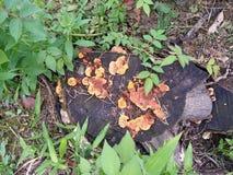 Het wilde paddestoel groeien op verlaten boomstompen royalty-vrije stock foto