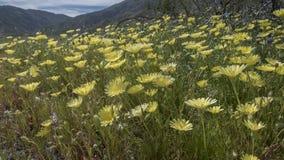 Het wilde Park van de de Woestijnstaat van Bloemen anza-Borrego Californië royalty-vrije stock afbeelding